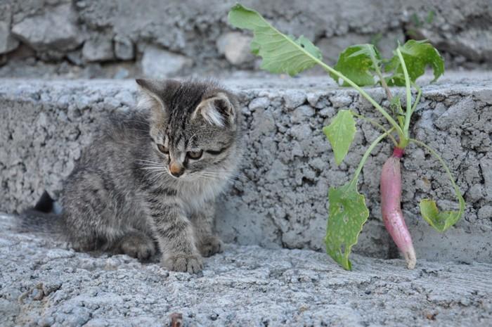 小さい大根と子猫