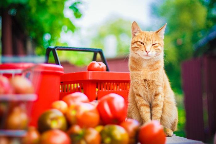 トマトを前にした猫