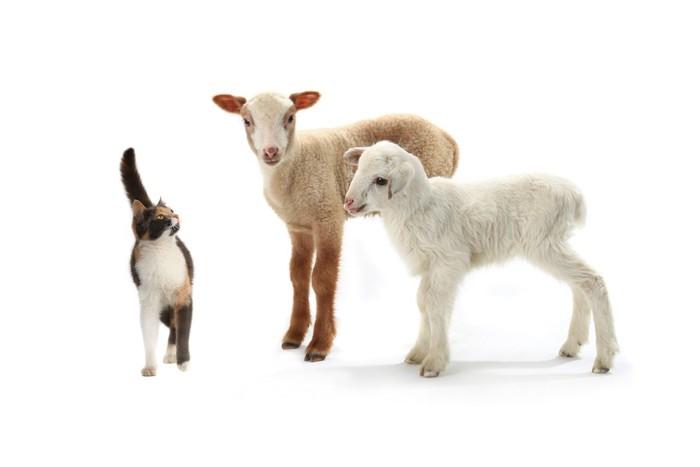 猫と二頭の羊