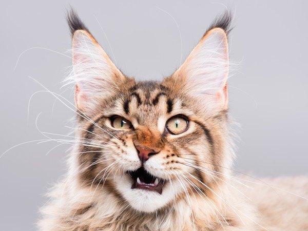 126244866 口をあける猫の写真