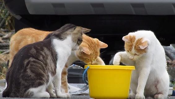茶トラ白猫もバケツを覗き込む