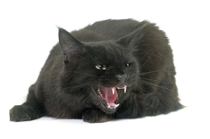 怒って威嚇している黒猫