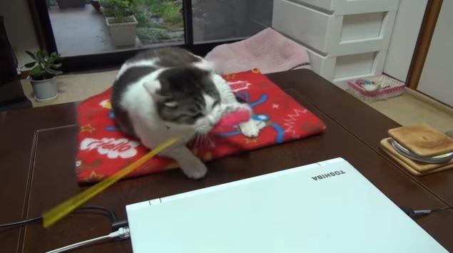 寝そべり猫じゃらしにじゃれる猫