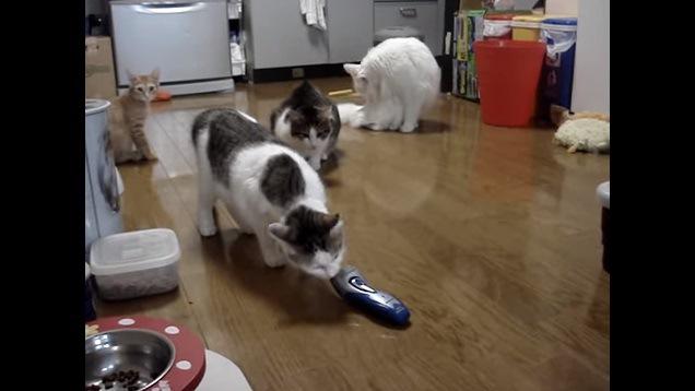 シェーバーの匂いを嗅ぐ猫