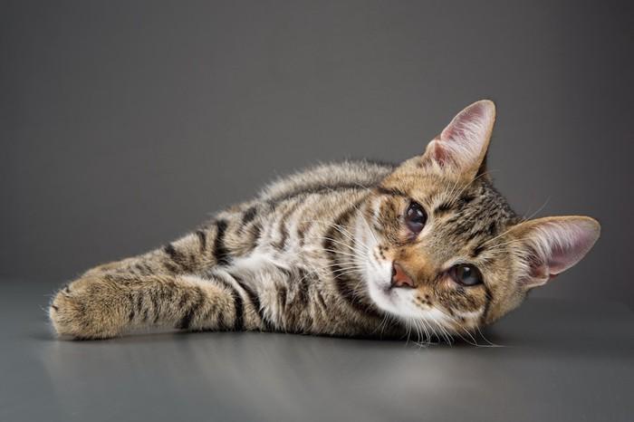 チェリーアイの猫
