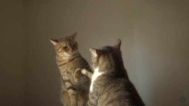 ちょんちょんする猫