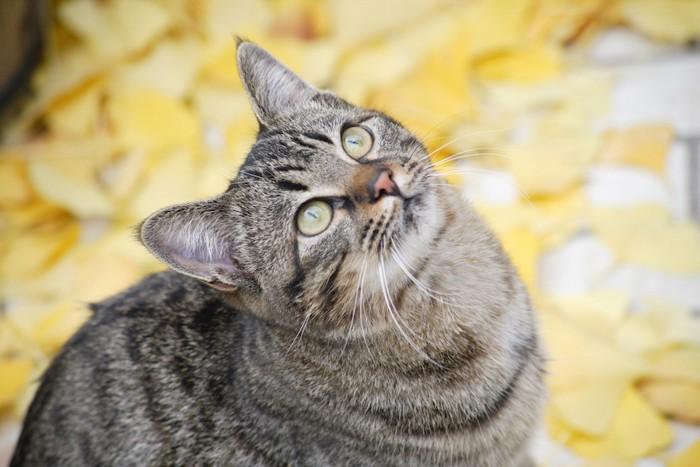 上を見つめるキジトラ猫