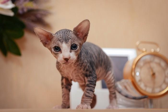 一匹の無毛の子猫