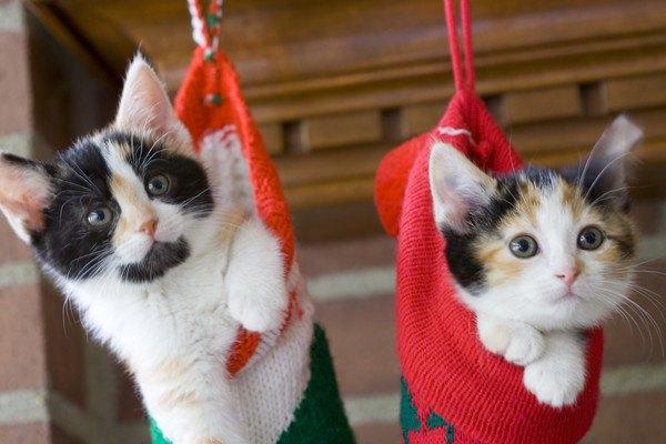 靴下に入る二匹の猫