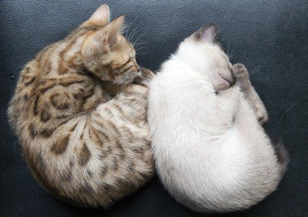 二匹の子猫が丸くなる