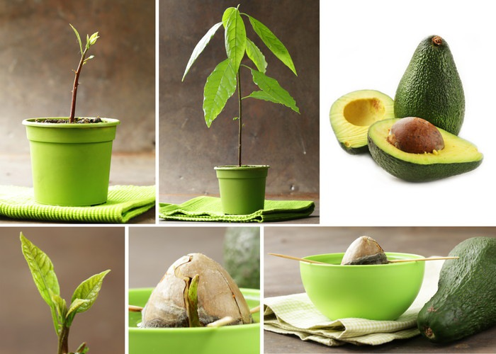 アボカドの木と果実