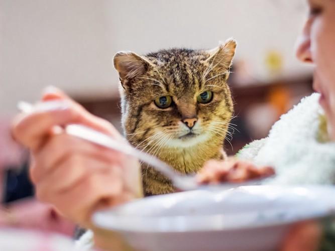 食事中の飼い主を見つめる猫