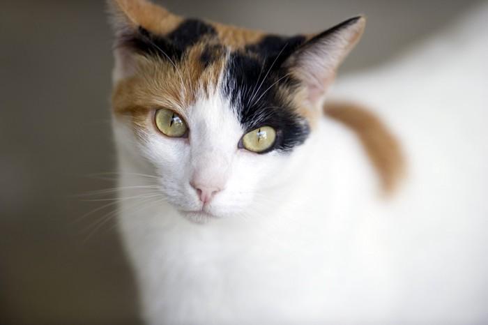 三毛猫の顔