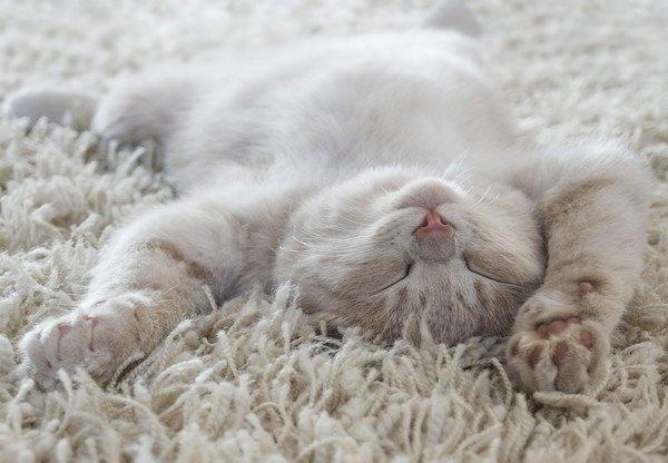 仰向けで寝る白い猫