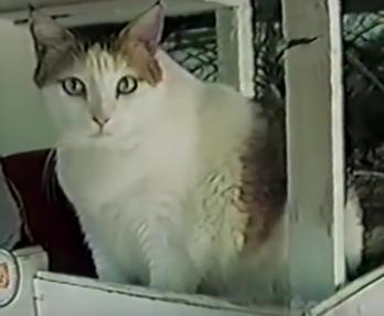 長寿の猫クリームパフ