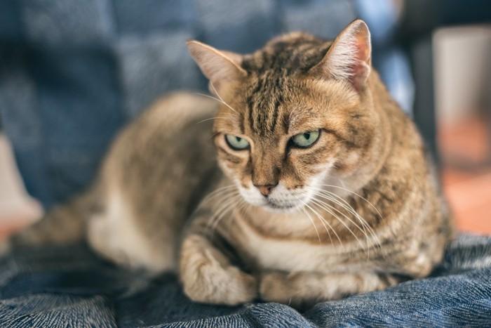 不満顔の猫