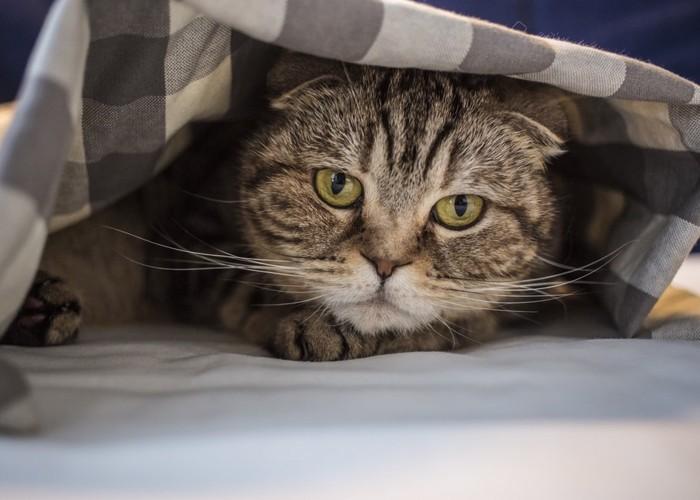 毛布の下にいる猫