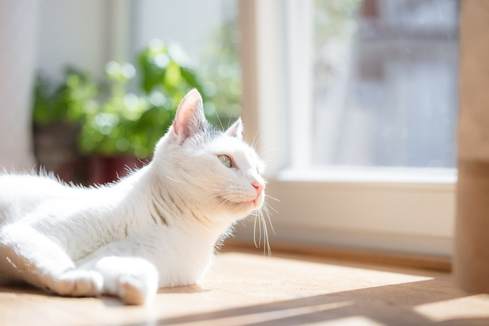 窓辺でくつろぐ白猫