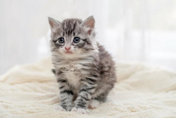 悲しそうに座る長毛の子猫