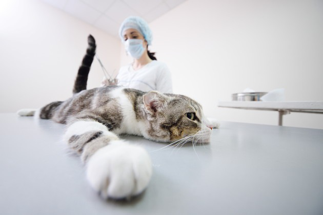 去勢手術を受ける猫