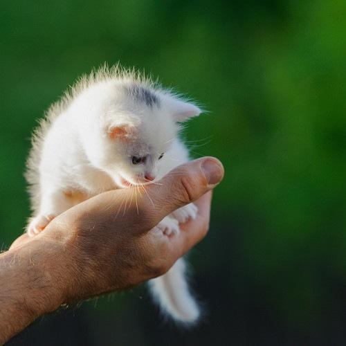手の上に載っている白い子猫