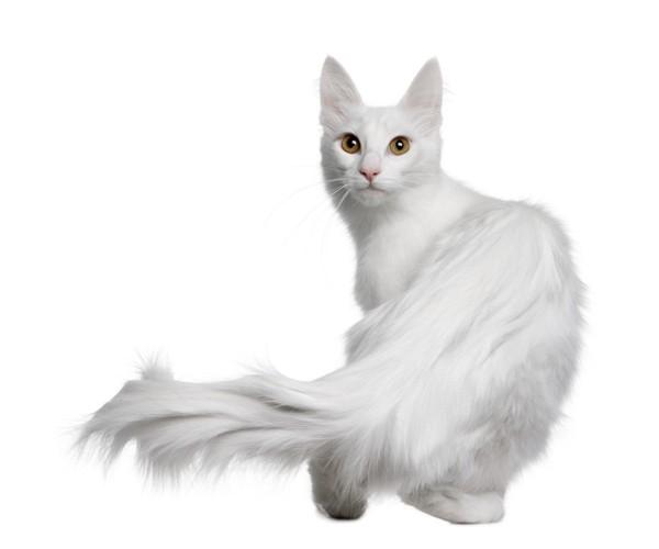 振り向く白猫
