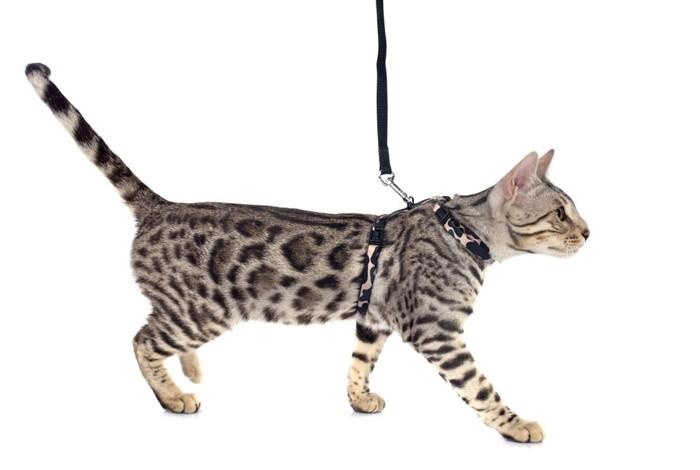 ハーネスを付けた豹柄の猫