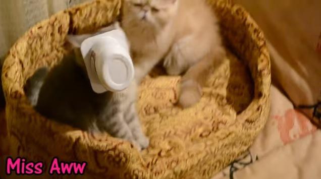 顔がカップに嵌った子猫