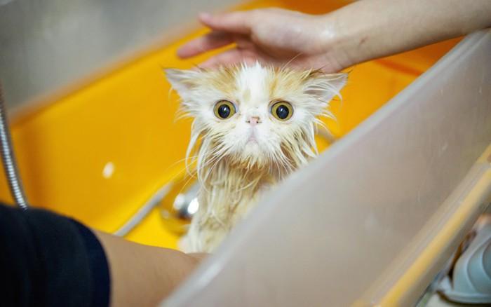 湯船の中で驚いて目を丸くする猫