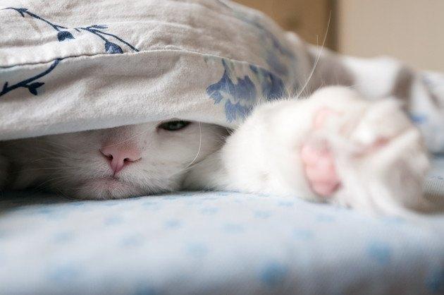 布団に隠れている猫