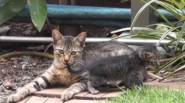 子猫の尻尾を噛む猫