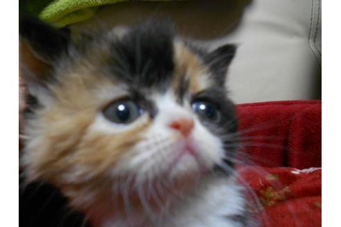 エキゾチックショートヘア子猫3