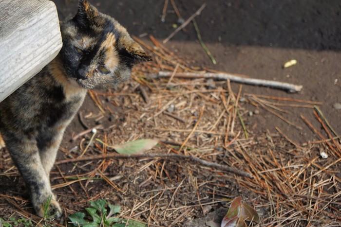 イカ耳でこちらを見るサビ猫