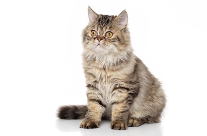 タビータイプのペルシャ猫