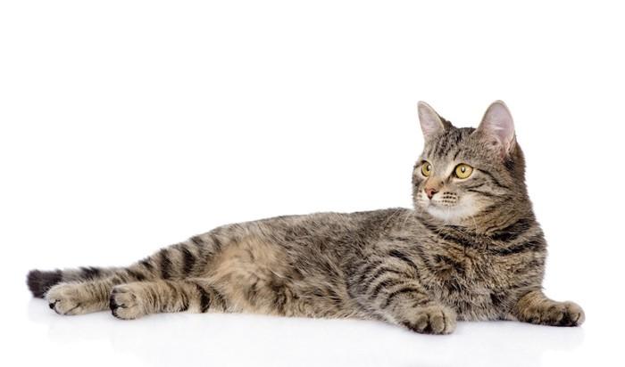 セクシーに横になる猫