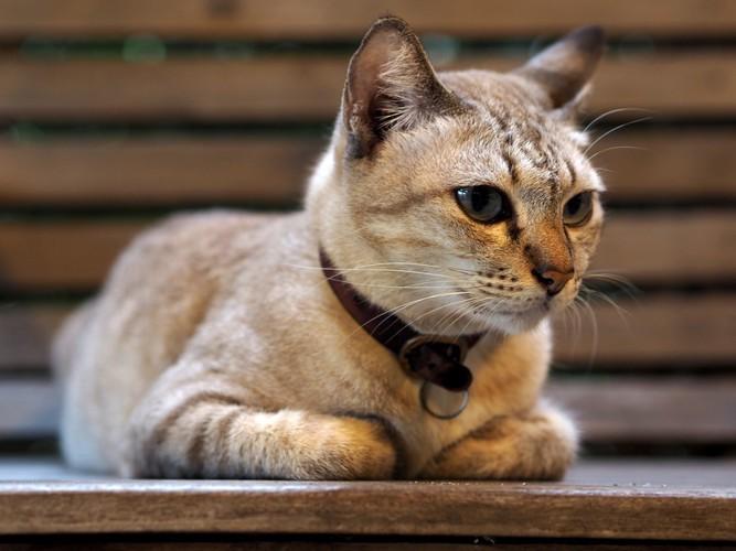タビーの猫