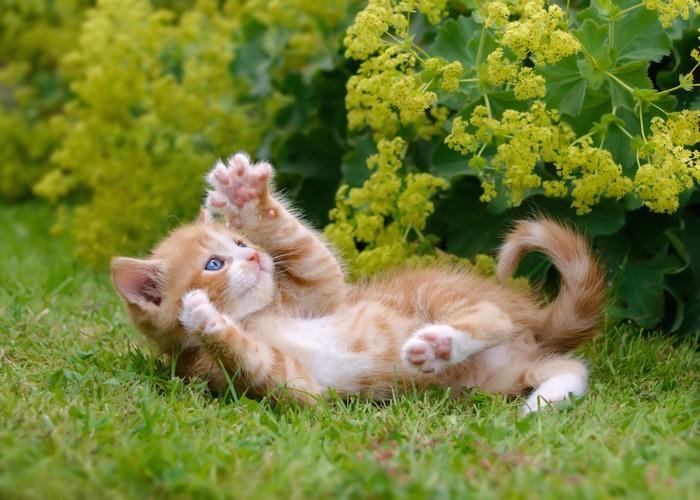 庭で花にじゃれて寝転ぶ子猫