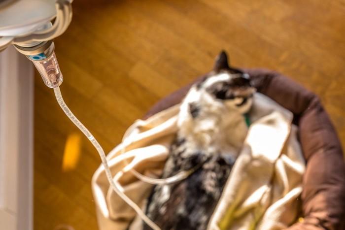 輸血中の猫