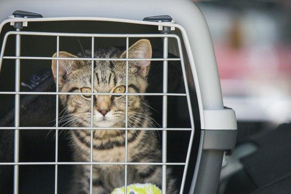 キャリーボックスに入った猫