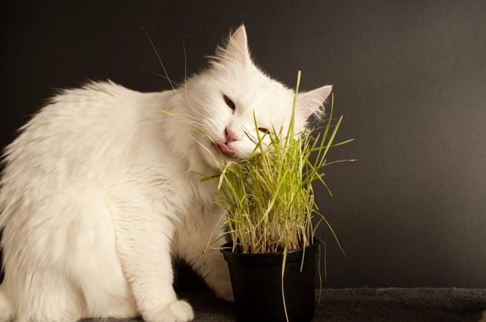 稲にスリスリする猫