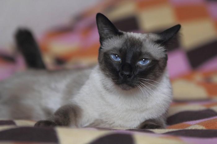 寝そべって見つめるシャム猫