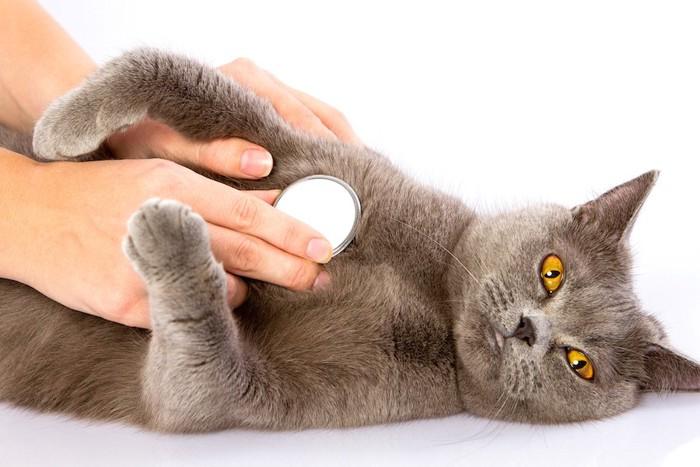 仰向けで寝転んで聴診器を当てられている猫