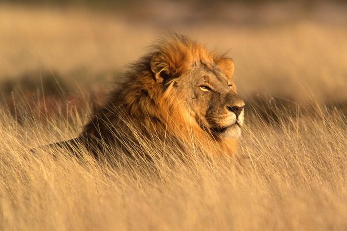草原の中のライオン