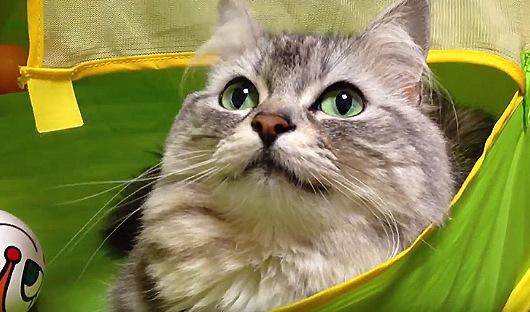 じっと上を見つめる猫