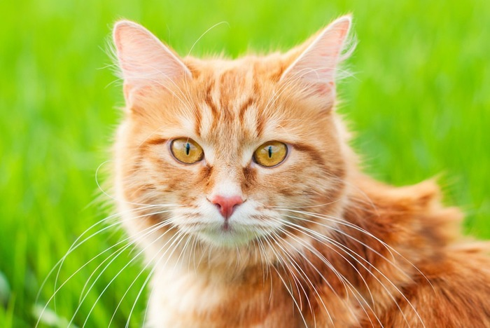 135445946  草原にいる猫の顔