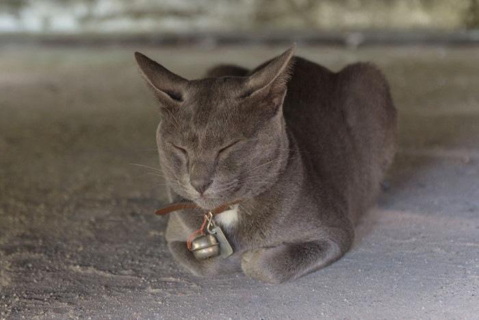 目を閉じるグレーの猫