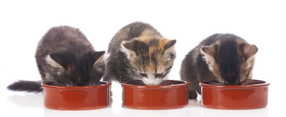 3匹の子猫が並んでご飯を食べる