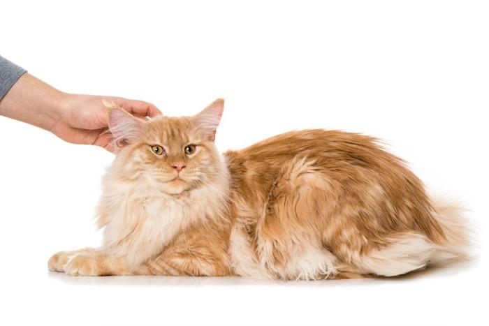 なでられる長毛の猫