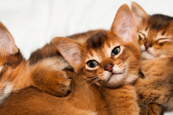 寄り添うアビシニアンの子猫たち