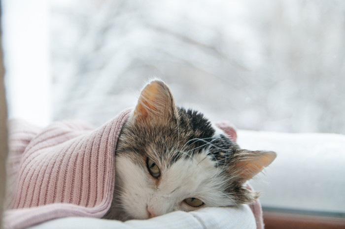 タオルをかぶって寝ている猫